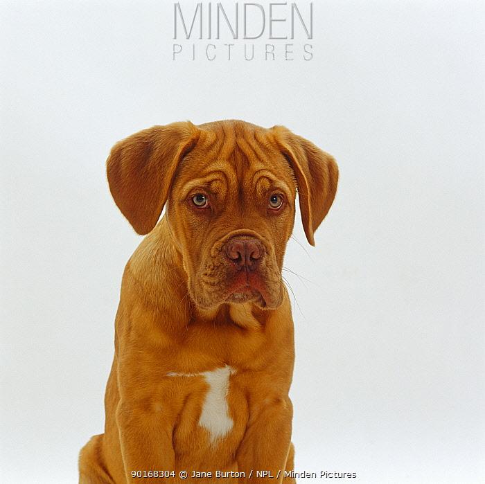 Dogue de Bordeaux dog pup, 15 weeks old  -  Jane Burton/ npl
