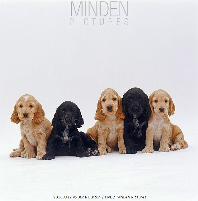 Five Black and Gold Cocker Spaniel pups, 6 weeks old, sitting in a line  -  Jane Burton/ npl