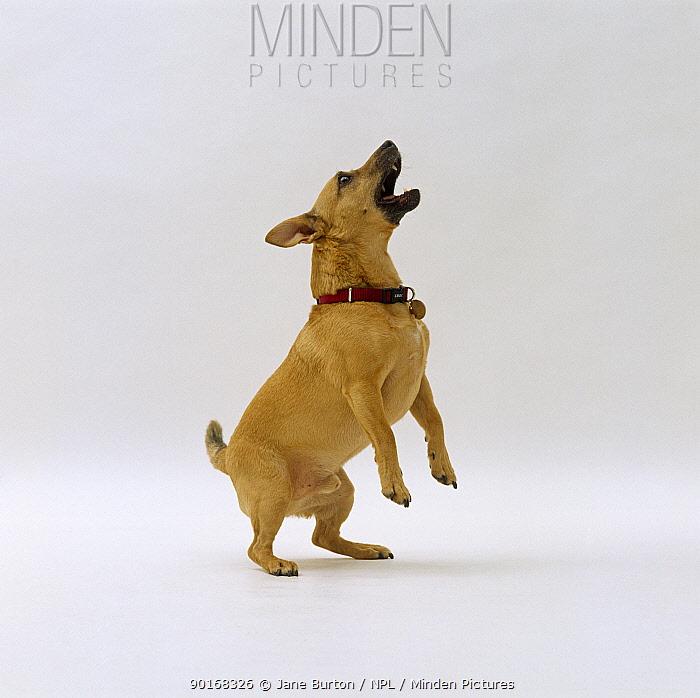 Fawn Jack Russell cross dog jumping up and barking  -  Jane Burton/ npl