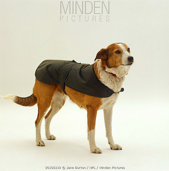Sable Border Collie wearing a Barbour jacket  -  Jane Burton/ npl