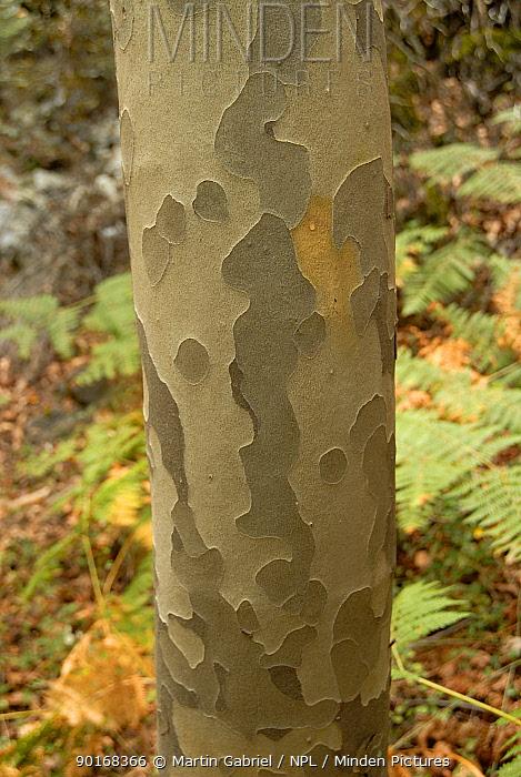 Bark pattern of the Oriental plane (Platanus orientalis) on the Caledonian Trail, Troodos Mountains, Cyprus  -  Martin Gabriel/ npl