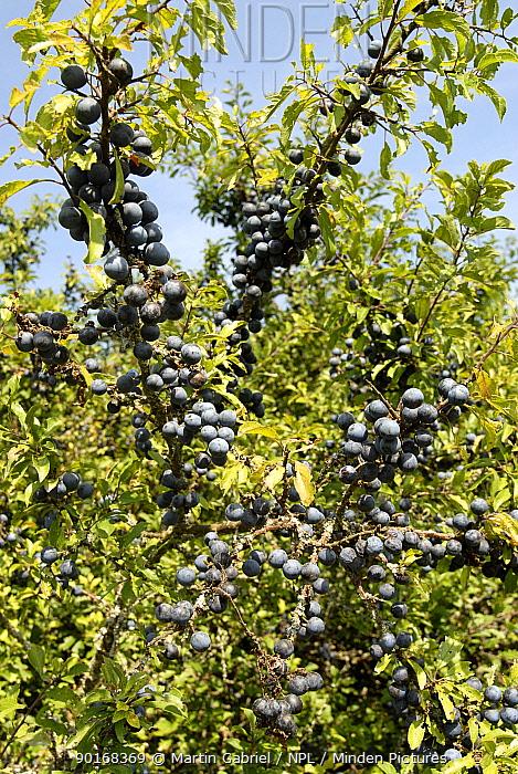Blackthorn (Prunus spinosa) covered in fruit (sloe berries) Bavaria, Germany  -  Martin Gabriel/ npl