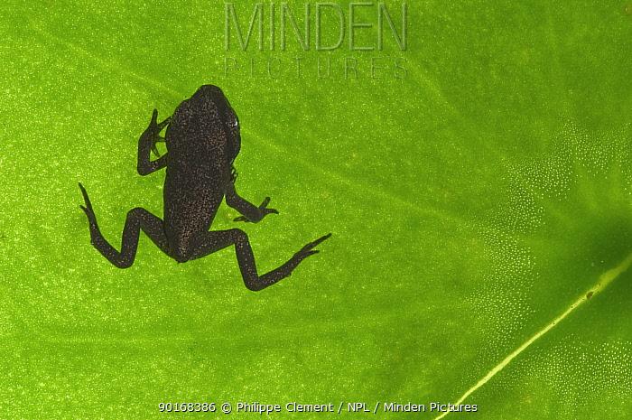 Common frog juvenile (Rana temporaria) viewed through leaf, Belgium  -  Philippe Clement/ npl