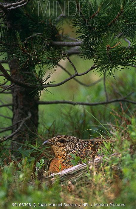 Capercaille (Tetrao urogallus) female on nest, Pyrennes, Catalonia, Spain  -  Juan Manuel Borrero/ npl