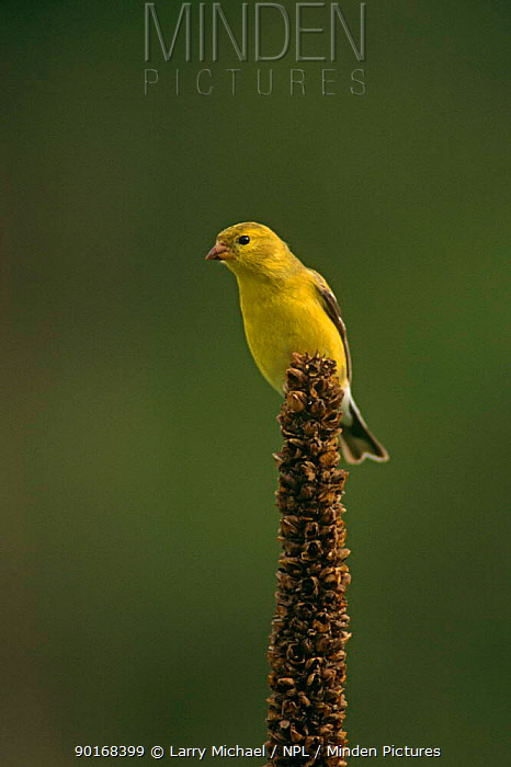 American goldfinch (Carduelis tristis) female perched on seedhead, USA  -  Larry Michael/ npl