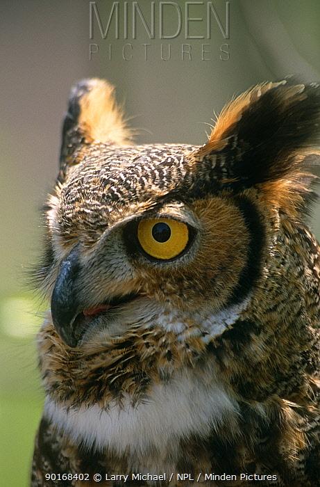 Great horned owl (Bubo virginianus) captive, Wisconsin, USA  -  Larry Michael/ npl