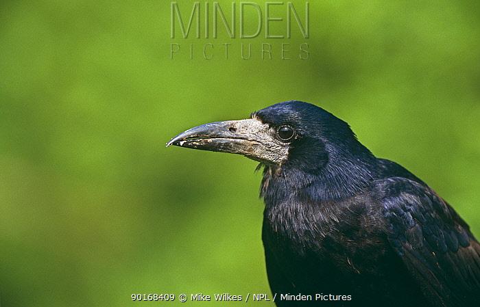 Rook (Corvus frugilegus) UK  -  Mike Wilkes/ npl