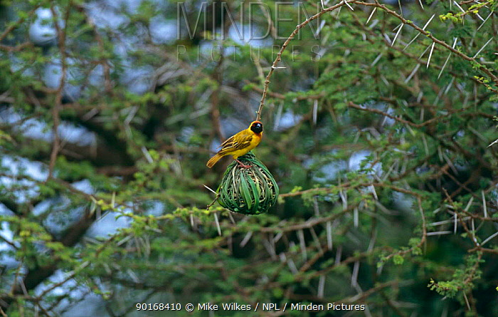 African masked weaver (Ploceus velatus) male at nest, Serengeti NP, Tanzania  -  Mike Wilkes/ npl