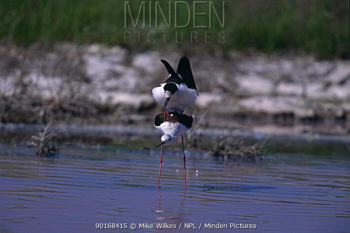 Black winged stilt (Himantopus himantopus) mating, Lesbos, Greece  -  Mike Wilkes/ npl