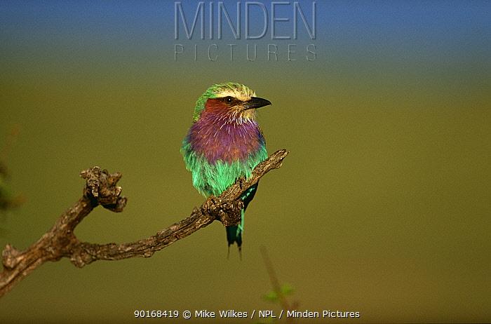Lilac breasted roller (Coracias caudata) Masai Mara, Kenya  -  Mike Wilkes/ npl