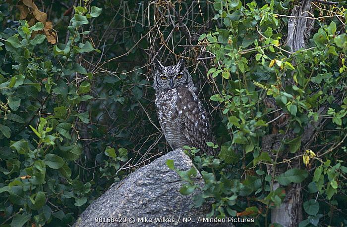 Spotted eagle owl (Bubo africanus) Serengeti NP, Tanzania  -  Mike Wilkes/ npl