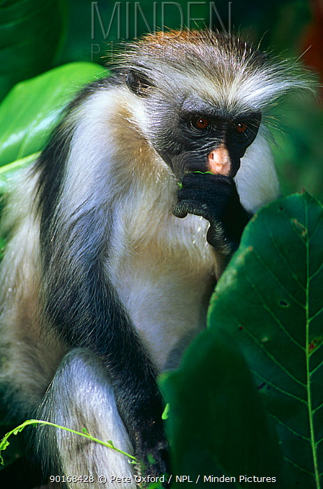 Zanzibar, Kirk's red colobus monkey (Colobus badius kirkii) Jozani Forest Reserve, Zanzibar, Tanzania  -  Pete Oxford/ npl
