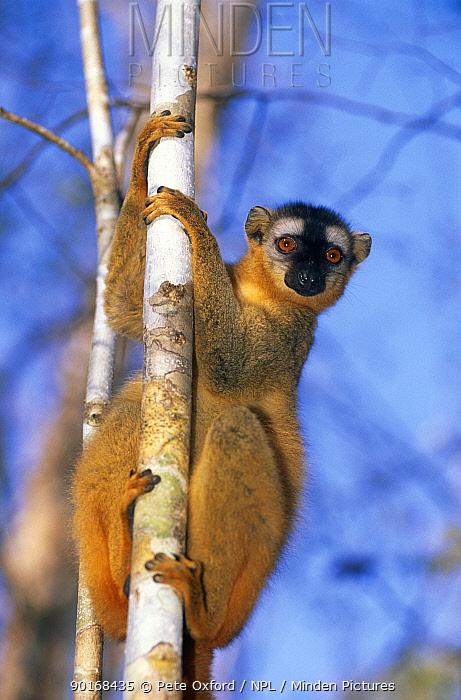 Red fronted lemur (Lemur fulvus rufus) female in tree, Kirindy forest, Western Madagascar,  -  Pete Oxford/ npl