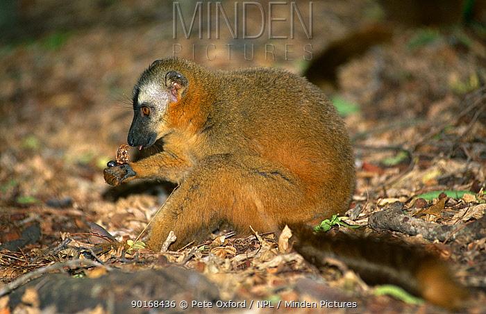 Red fronted lemur (Lemur fulvus rufus) female eating fruit, Berenty, Western Madagascar,  -  Pete Oxford/ npl