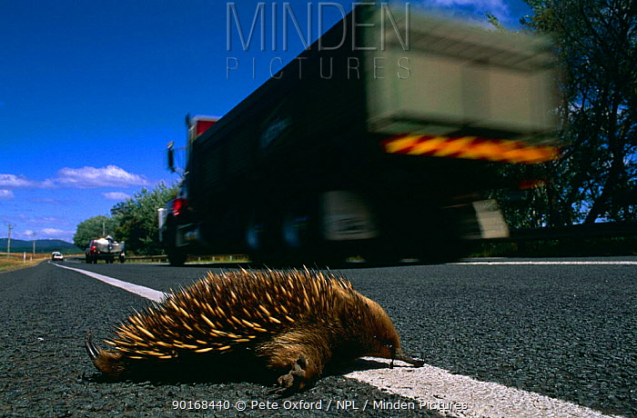 Short beaked echidna road kill (Tachyglossus aculeatus setosus) Tasmania, Australia  -  Pete Oxford/ npl