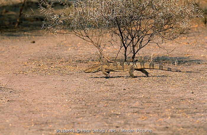 Savanna, Rock monitor (Varanus exanthematicus) walking, Okavango delta, Botswana  -  Pete Oxford/ npl