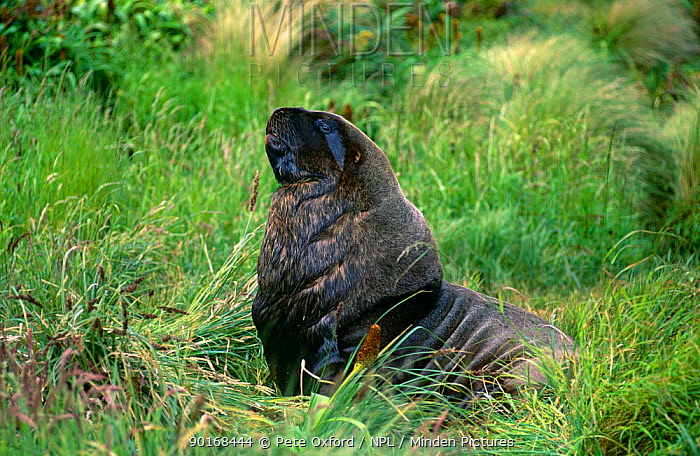 New Zealand, Hooker's sealion (Phocartos hookeri) male, Cambell Is, South New Zealand  -  Pete Oxford/ npl