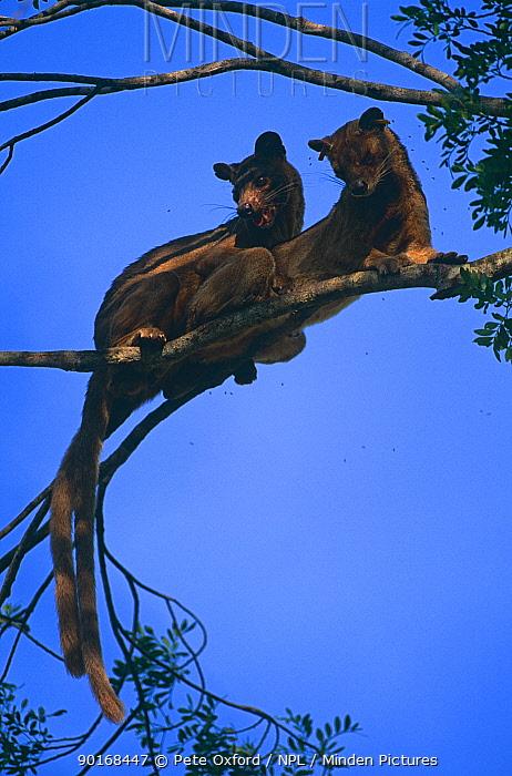 Fossa (Cryptoprocta ferox) pair mating in tree, western dry forest, Madagascar  -  Pete Oxford/ npl