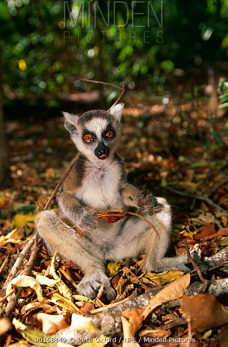 Ring tailed lemur (Lemur catta) sitting on ground feeding, Berenty reserve, Madagascar  -  Pete Oxford/ npl