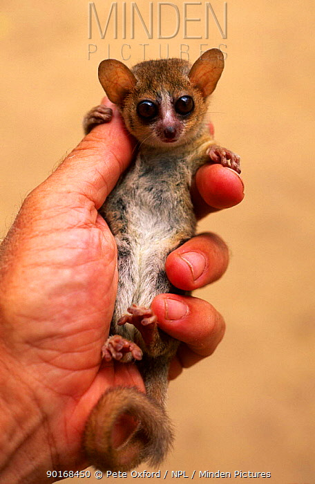 Russet mouse lemur (Microcebus rufus) held in hand to show small size, Kirindy, madagascar  -  Pete Oxford/ npl