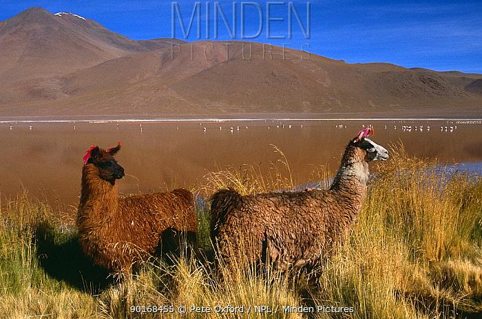 Two Llamas (Lama glama) Laguna Colorada, Bolivia, range:andes  -  Pete Oxford/ npl
