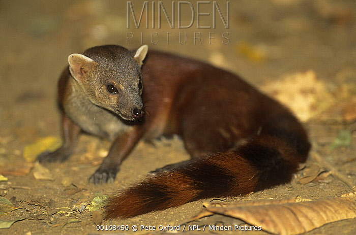 Northern ring tailed mongoose (Galidia elegans dambrensis) Ankarana special reserve, Madagascar  -  Pete Oxford/ npl