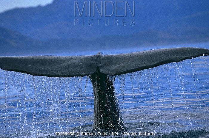 Sperm whale (Physeter macrocephalus) tail fluke, New Zealand  -  Barbara Todd/ npl