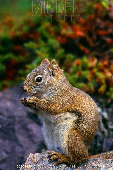 North American red squirrel (Tamiasciurus hudsonicus) Great Slave Lake, Canada  -  David Welling/ npl