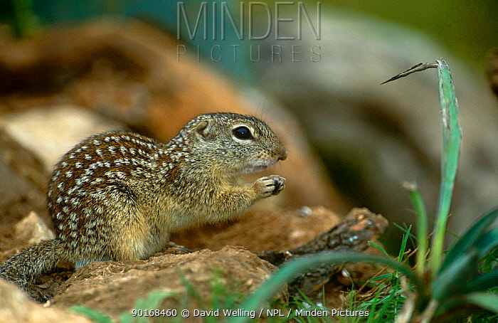 Mexican ground squirrel (Spermophilus mexicanus)Texas, USA  -  David Welling/ npl