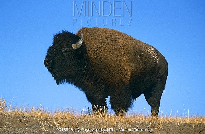 Bison (Bison bison) bull, Yellowstone NP, Wyoming, USA  -  Ingo Arndt/ npl