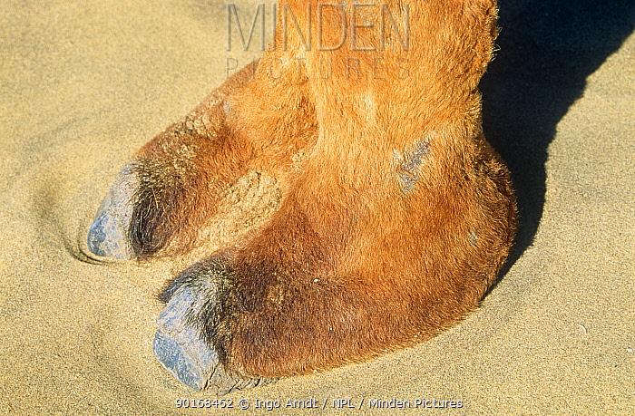Dromedary camel (Camelus dromedarius) close up of foot, hoof, Rajasthan, India  -  Ingo Arndt/ npl