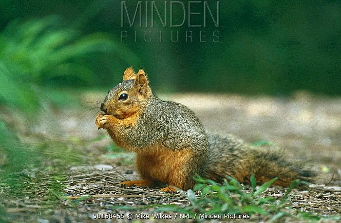 Fox squirrel (Sciurus niger) Texas, USA  -  Mike Wilkes/ npl