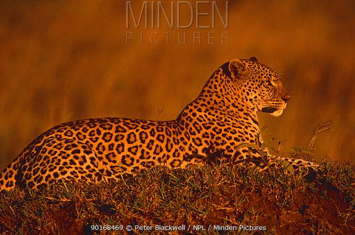Leopard (Panthera pardus) at sunset, Masai Mara GR, Kenya  -  Peter Blackwell/ npl