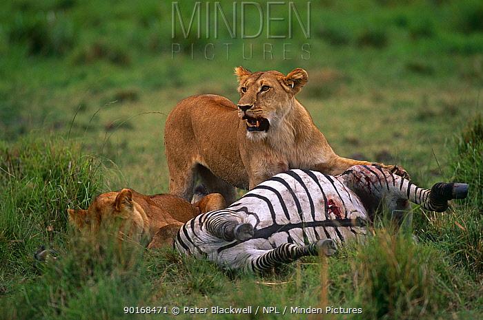 African lionesses (Panthera leo) at Zebra kill, Masai Mara GR, Kenya  -  Peter Blackwell/ npl