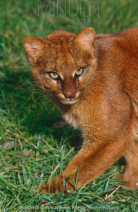 Jaguarundi (Felis yagouaroundi) red phase, captive, from Arizona to Argentina  -  Rod Williams/ npl