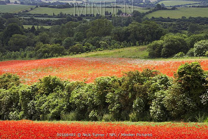Fields full of Common Poppies (Papaver rhoeas) with Elder (Sambucus nigra) flowering in hedgerow, Gloucestershire, England, UK  -  Nick Turner/ npl