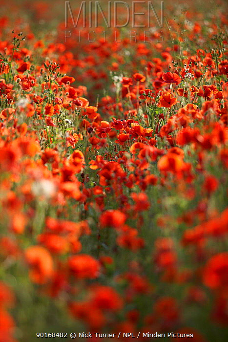 Common poppies in flower (Papaver rhoeas) Gloucestershire, England, UK  -  Nick Turner/ npl