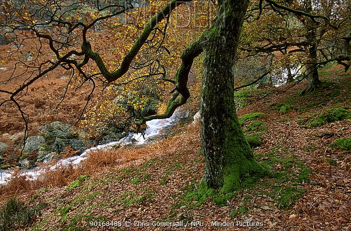 Sessile oak tree (Quercus petraea) mountain stream in autumn Wales UK  -  Chris Gomersall/ npl