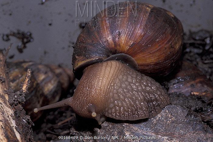 Giant african snail (Achatina marginata) captive  -  Dan Burton/ npl