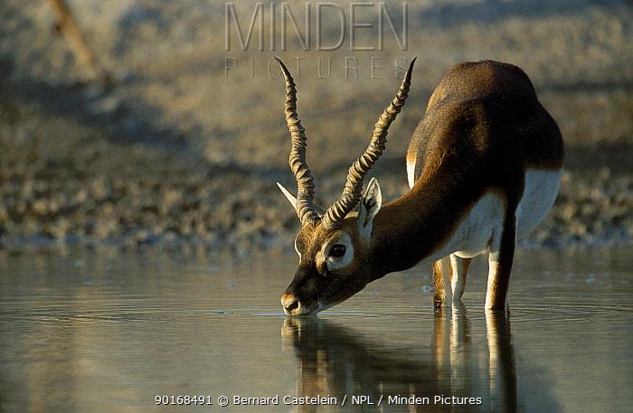 Young male Blackbuck drinking (Antilope cervicapra) Thar Desert W Rajasthan India  -  Bernard Castelein/ npl