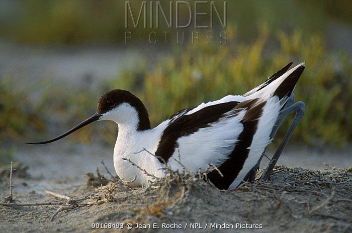 Avocet at nest on beach (Recurvirostra avosetta) Camargue France  -  Jean E. Roche/ npl
