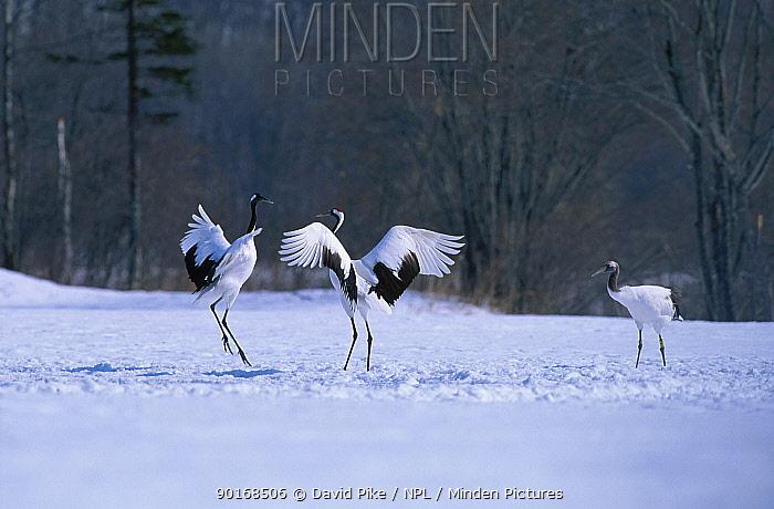 Japanese cranes displaying (Grus japonensis) Akan Japan  -  David Pike/ npl