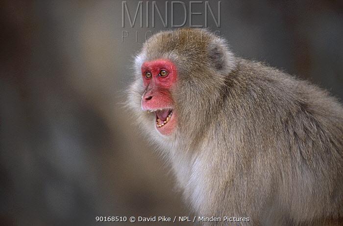 Japanese macaque vocalising (Macaca fuscata) Jigokudani Japan  -  David Pike/ npl