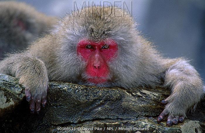 Japanese macaque (Macaca fuscata) Jigokudani Japan  -  David Pike/ npl