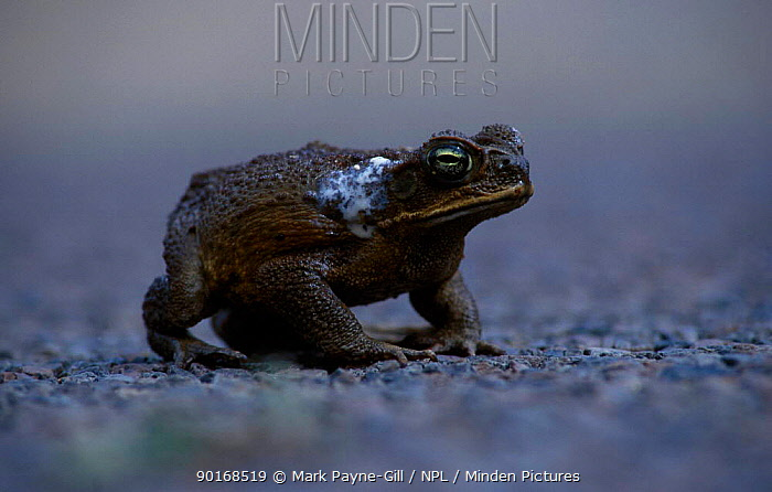 Giant toad showing poison from glands (Bufo marinus) Queensland Australia Townsville  -  Mark Payne-Gill/ npl