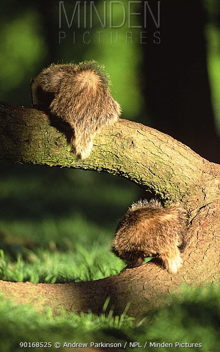 Badgers foraging on tree trunk (Meles meles) Derbyshire, Englan  -  Andrew Parkinson/ npl