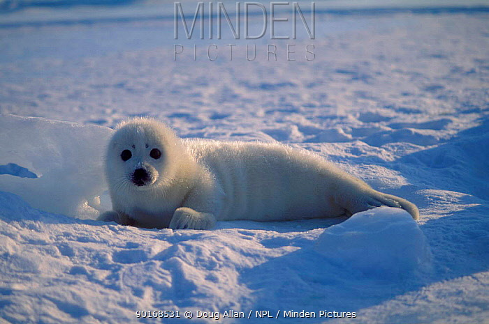Harp seal pup (Phoca groenlandicus) Gulf of St Lawrence Canada  -  Doug Allan/ npl