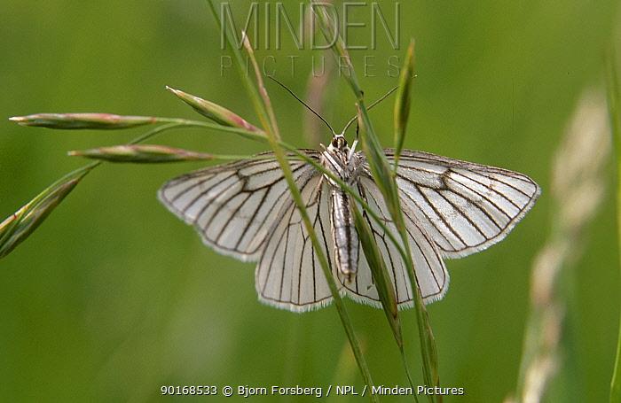 Black veined moth (Siona lineata) Sweden  -  Bjorn Forsberg/ npl