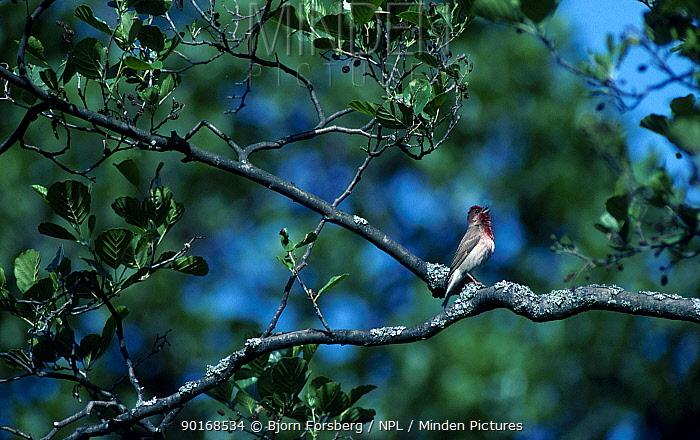 Scarlet rosefinch singing (Carpodacus erythrinus) Sweden  -  Bjorn Forsberg/ npl