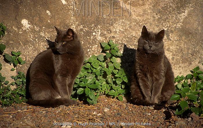 Feral Cats (Felis catus) Rome, Italy  -  Hugh Pearson/ npl